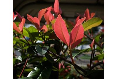 Drei besondere Sträucher für einen farbenfrohen Garten