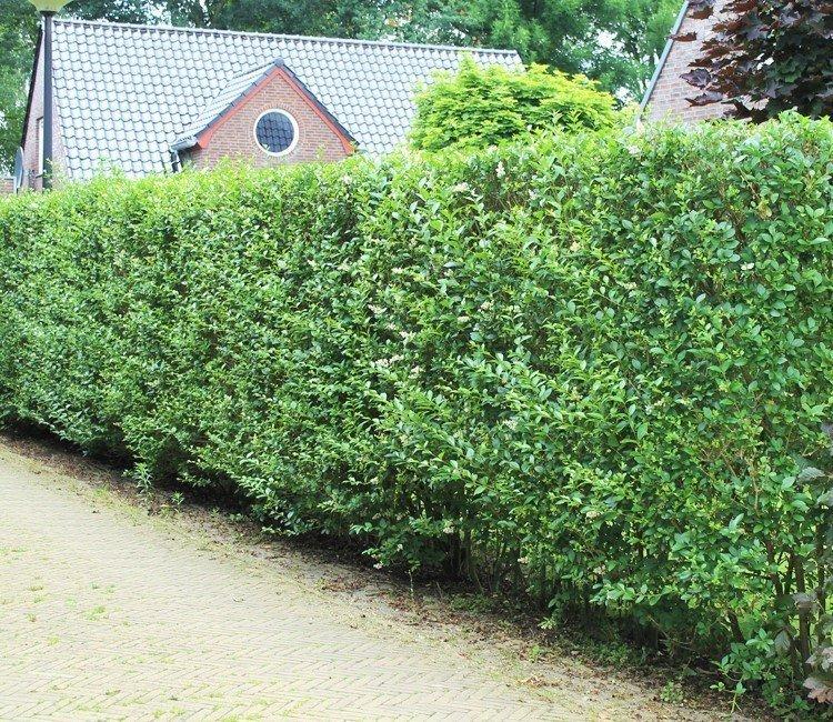 Wann kann ich Liguster pflanzen? – Pflanztipps vom Gärtner