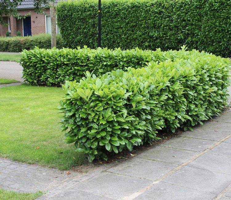 Der Unterschied zwischen Kirschlorbeer Novita und Rotundifolia