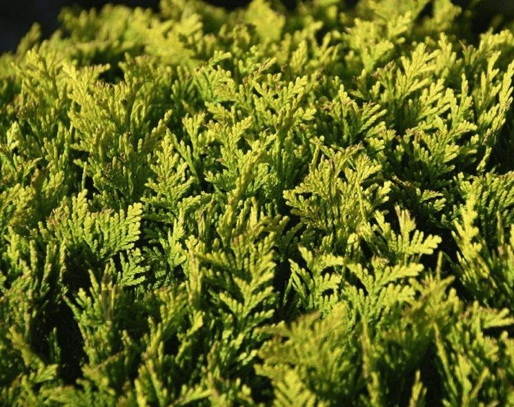 Die schönsten Pflanzen für eine schmale, immergrüne Hecke