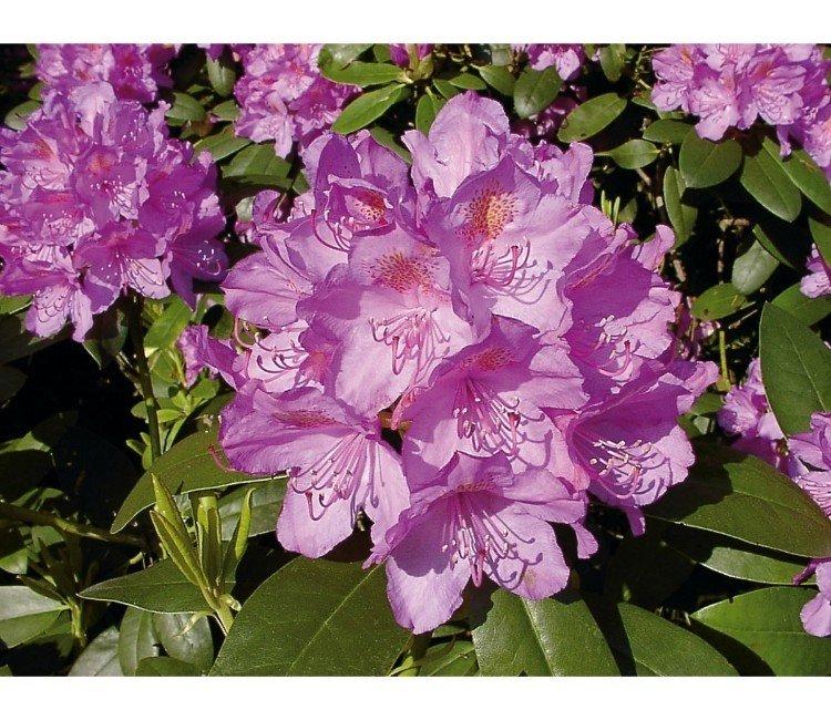 Rhododendron richtig pflegen – Anleitung für das ganze Jahr