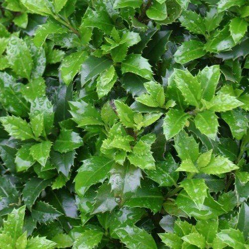 3 schöne, immergrüne Sträucher für den Vorgarten