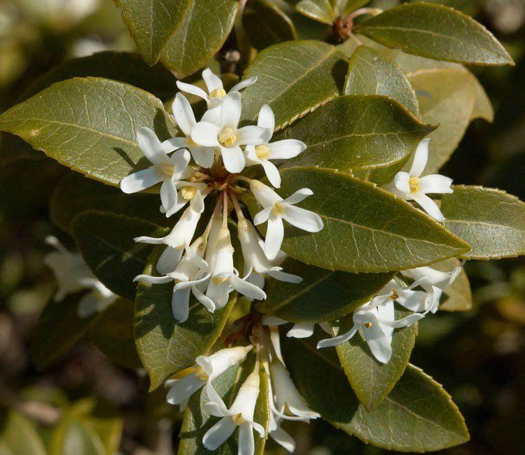 Immergrüne, weiß blühende Sträucher für jede Jahreszeit
