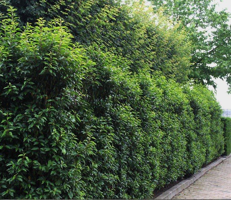 Gartenbegrenzung pflanzen: Wie wähle ich die richtige Heckenpflanze?