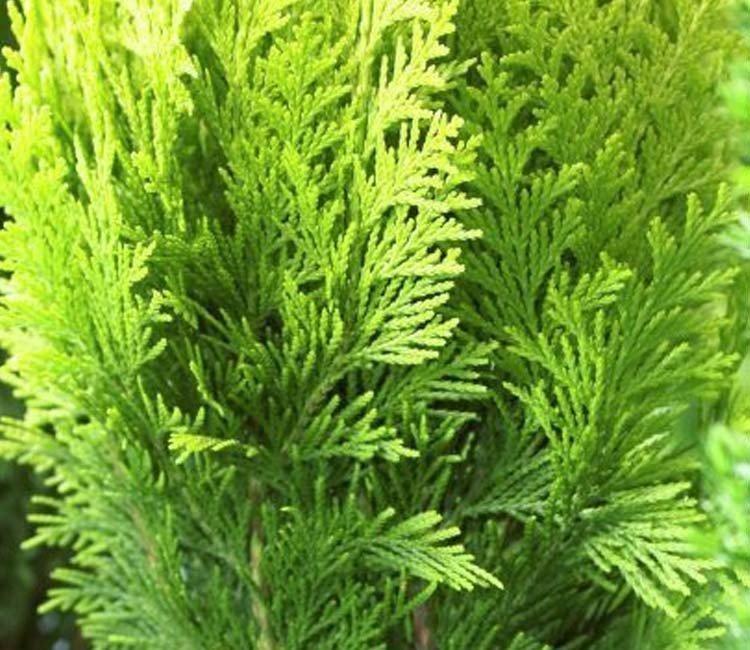 Suchen Sie eine schnell wachsende Heckenpflanze für Ihren Garten?