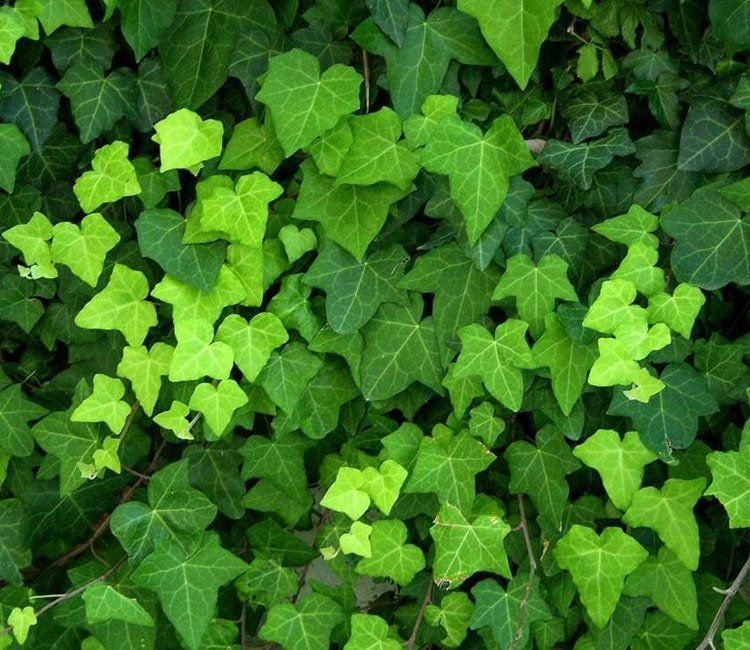 Schnellwachsende Hecke als Sichtschutz im Garten pflanzen