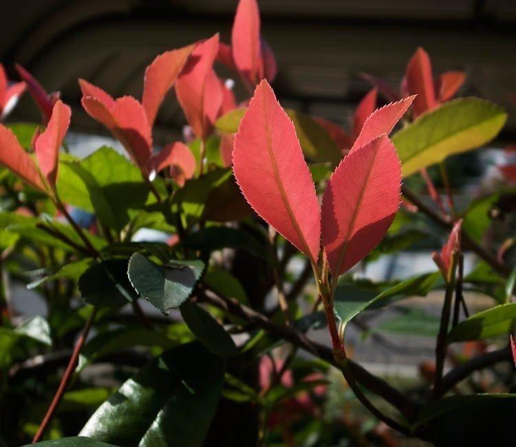Wintergrüne Sträucher – Farbtupfer im winterlichen Garten