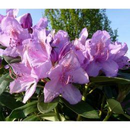 Rhododendron Catawbiense Boursalt