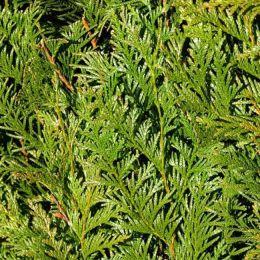 Lebensbaum Atrovirens