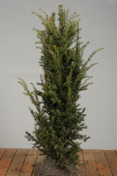 Eibe Wurzelballen 125-150 cm Extra Qualtität
