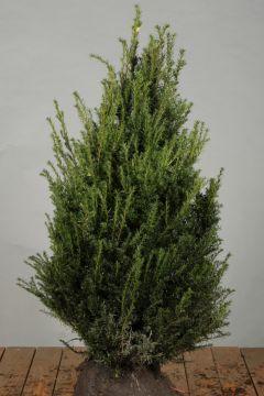 Eibe Wurzelballen 80-100 cm Extra Qualtität