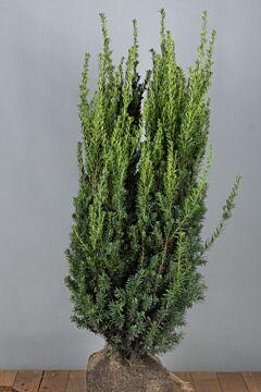Becher-Eibe 'Hilli' Wurzelballen 100-125 cm Extra Qualtität