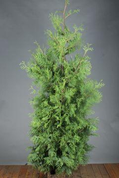 Lebensbaum 'Brabant' (200-225 cm) Extra Qualtität