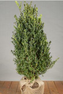 Buchsbaum Wurzelballen 60-80 cm Wurzelballen