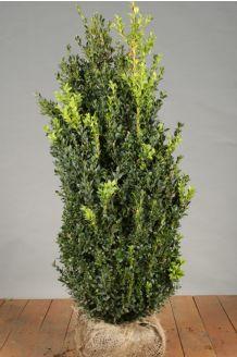 Buchsbaum Wurzelballen 80-100 cm Wurzelballen