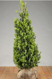 Buchsbaum Wurzelballen 100-125 cm Wurzelballen