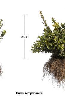Buchsbaum Wurzelware 20-30 cm Wurzelware