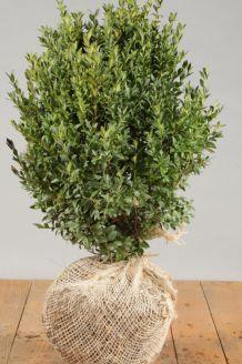 Buchsbaum Wurzelballen 30-40 cm Wurzelballen