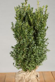 Buchsbaum Wurzelballen 50-60 cm Wurzelballen