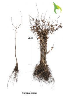 Hainbuche Wurzelware 40-60 cm Wurzelware