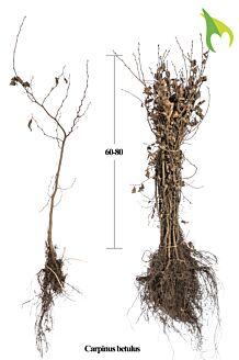 Hainbuche Wurzelware 60-80 cm Wurzelware