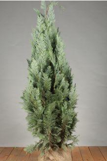 Blaue Scheinzypresse Wurzelballen 100-125 cm Extra Qualtität Wurzelballen