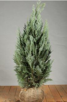 Blaue Scheinzypresse Wurzelballen 80-100 cm Extra Qualtität Wurzelballen