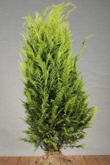 Gelbe Scheinzypresse Wurzelballen 100-125 cm Extra Qualtität Wurzelballen