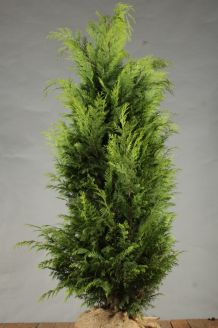 Gelbe Scheinzypresse Wurzelballen 150-175 cm Wurzelballen