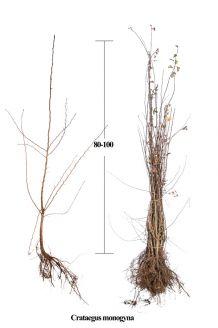 Eingriffeliger Weissdorn (80-100 cm) Wurzelware