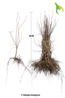 Eingriffeliger Weissdorn (40-60 cm) Wurzelware