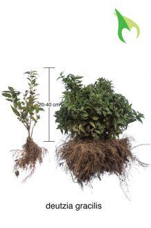 Deutzia gracilis Wurzelware 20-40 cm Wurzelware