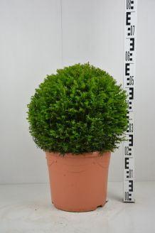 Eibe Kugel (40 cm) Topf