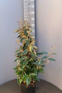 Oelweide Topf 80-100 cm Topf