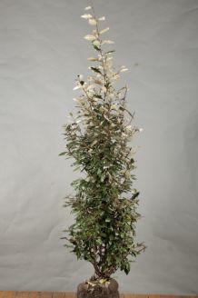 Oelweide (125-150 cm) Wurzelballen