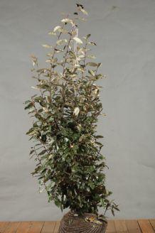 Oelweide Wurzelballen 150-175 cm Wurzelballen