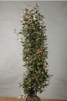 Oelweide Wurzelballen 175-200 cm Wurzelballen