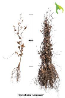 Blutbuche Wurzelware 60-80 cm Wurzelware