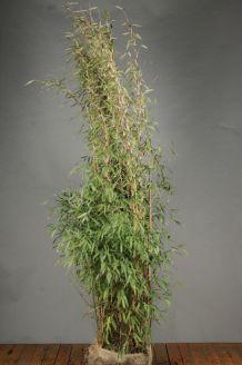 Bambus Wurzelballen 200-225 cm Wurzelballen