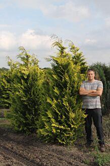 Gelbe Scheinzypresse Wurzelballen 200-225 cm EXTRA Wurzelballen