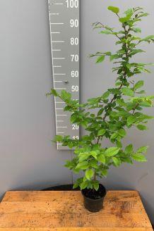 Hainbuche Topf 80-100 cm Topf