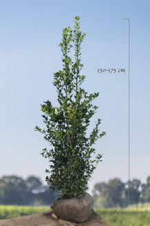Stechplame Ilex 'Heckenfee' Wurzelballen 150-175 cm Wurzelballen