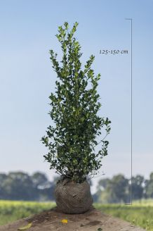 Stechplame Ilex 'Heckenfee' Wurzelballen 125-150 cm Wurzelballen