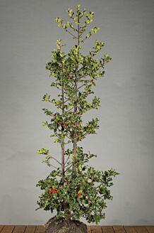Stechpalme Ilex 'Alaska' Wurzelballen 125-150 cm Wurzelballen