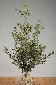 Stechpalme Ilex 'Alaska' Wurzelballen 80-100 cm Wurzelballen