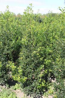Stechpalme Ilex Wurzelballen 175-200 cm Wurzelballen