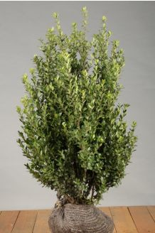 Japanische Stechpalme Wurzelballen 60-80 cm Wurzelballen