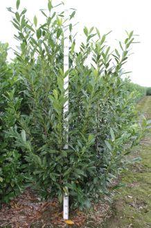 Kirschlorbeer 'Caucasica' (225-250 cm) Extra Qualtität Wurzelballen