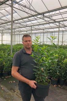 Kirschlorbeer 'Genolia' Topf 80-100 cm Topf