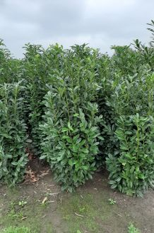 Kirschlorbeer 'Genolia' Wurzelballen 200-225 cm Wurzelballen